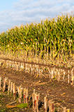 Close-up partially harvested silage maize Stock Images