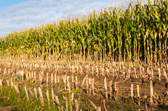 Close-up partially harvested silage maize Royalty Free Stock Images