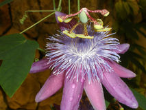 Close up of passiflora. ( pink passionflower stock photos