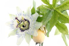 Close up of passiflora. (passion fruit and passionflower) on white background royalty free stock image