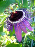 Close up Passiflora Caerulea - Passion Flower Royalty Free Stock Photos