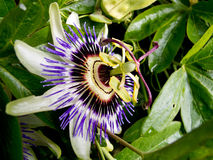 Close up of Passion Flower Royalty Free Stock Image
