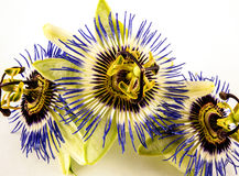 Close up passion flowers Royalty Free Stock Photo