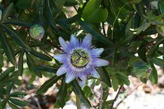 Close up of passion fruit flower in summer.  royalty free stock photography