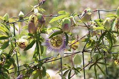 Close up of passion fruit flower in summer.  stock image