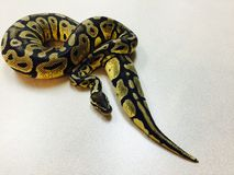 Close up of pastel ghost ball python snake being held Stock Photos