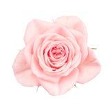 Close up of pastel pink rose Stock Photos
