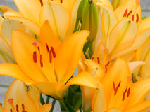 Close Up Pastel Single Stargazer Lily Royalty Free Stock Image