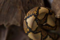 Close up Pattern Boa Snake skin abstract textured Royalty Free Stock Image