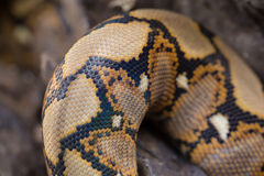 Close up Pattern Boa Snake skin abstract textured Stock Image