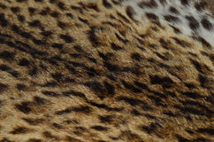 Close up pattern of Leopard Skin Stock Photography