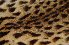 Close up pattern of Leopard Skin Stock Image