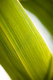 Close Up of the Pattern of Stripes on a Palm Leaf royalty free stock image
