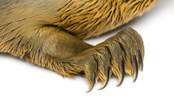 Close-up on the paw of a Common seal pup, isolated Stock Photography