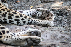 Close up of the paws of a male Leopard. Royalty Free Stock Image