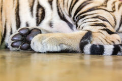 A close-up of the paws and tail of a tiger Royalty Free Stock Photo