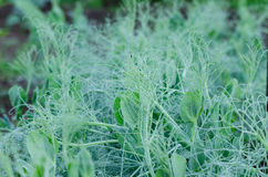Close up of pea sprout stud small dew drops Stock Photo