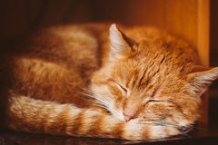 Close Up Of Peaceful Red Cat Curled Up Sleeping In His Bed Stock Image