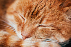 Close Up Of Peaceful Red Cat Curled Up Sleeping In His Bed Royalty Free Stock Photo