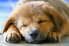 Close-Up Sleeping Face Adorable Little Brown Puppy Dog. Close-Up Peaceful Sleeping Face Adorable Little Brown Puppy Dog stock photo