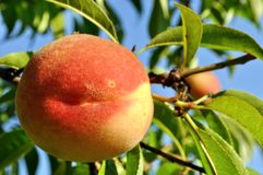Close-up of the peach Royalty Free Stock Image