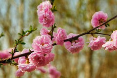 The close-up peach blossom Stock Images