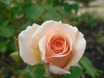 Close up peach-colored rose flower at Queen Elizabeth Park Stock Photography