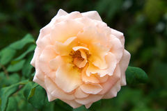 Close up of peach colored rose flower Royalty Free Stock Images
