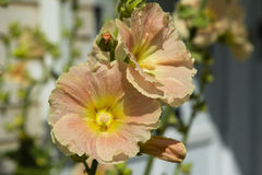 Close up of Peach Hollyhocks Stock Photography