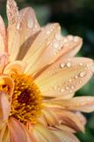Close up of peach pink flower head with dewdrops stock images
