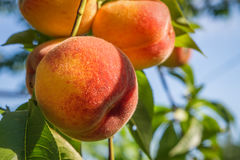 Close up peach Stock Photo