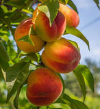 Close up peach Royalty Free Stock Photos
