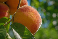 Close up peach Royalty Free Stock Images