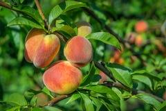 Close up peach Stock Photos