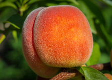 Close up peach Royalty Free Stock Photography