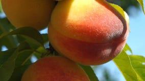 Close up peach stock video