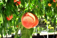 Close up of a peach on a tree. A ripe peach on a branch of a tree , can be picked for eating Stock Images