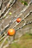 Close up peach on tree Royalty Free Stock Photo
