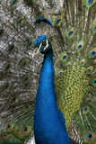 Close-up of peacock Stock Photography