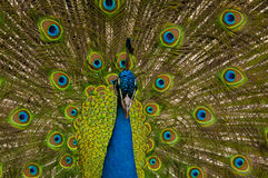 Close-up of a peacock. With bright eye-spotted feathers Royalty Free Stock Photos