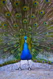 Close up of peacock Royalty Free Stock Photography