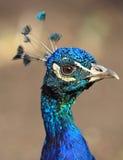 Close-up peacock Stock Photo