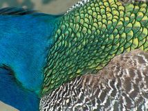 Close up of a peacock. 's neck stock image