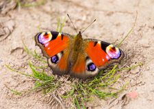 Peacock butterfly sitting on ground royalty free stock photos