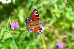 Close-up of peacock butterfly on a thistle flower in nature stock images