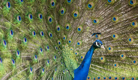 Peacock head and feathers Stock Photos