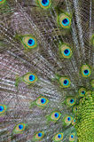 Close Up Peacock Feather Stock Photography