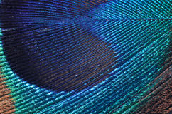 Peacock feather detail. Close up of a peacock feather detail Royalty Free Stock Photo