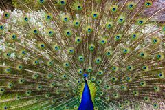 Close-up of Peacock Feathers Royalty Free Stock Photos