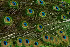 Close up of Peacock feathers. Stock Images